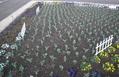 チューリップとコスモスが一緒に咲きました