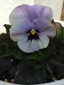 種まきオセロブルー咲きましたぁ💕
