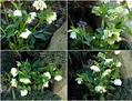 盛んに咲くクリスマスローズの花
