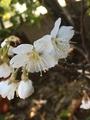 さくらんぼの花咲き出しましたぁ💓