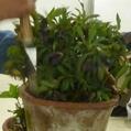 原種交配 トルカータス系の鉢替え