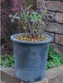 開花株の植え替え  鉢は和のテイストで