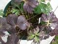 耐寒仕様の葉っぱたち