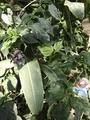 ハクメイとミコチ ×渋谷区ふれあい植物センターコラボレーション企画  「植物園の歩き方」展開催中