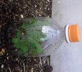 生長過程:ヒスイカズラ花芽、サンジャクバナナ