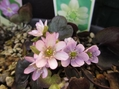 桜色どんどん咲いてきました~