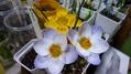 満開、冬咲きクロッカス♪