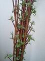 アンスリウムと赤い枝・・・