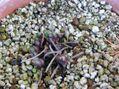 キンポウゲ科植物その後