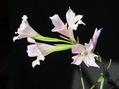 グラジオラス(春咲き)グラシリス