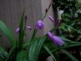 雨の中、初花か?