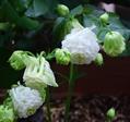 オダマキの開花