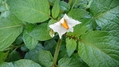ジャガイモ花咲いてる?