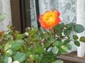 ミニバラが咲き出した&桃の摘果