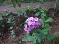 Lunaria シルバーダラーの花