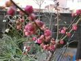 3種類の梅