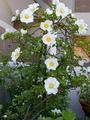 ふくおかルーバルガーデン2~春💠の庭便り白い花と初夏の日差し☀
