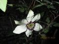 テッセン咲いていました。