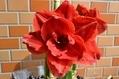 バラ咲きアマリリス1輪目