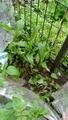 ミョウガの芽が出てきました。