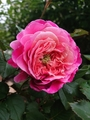 薔薇と。。。
