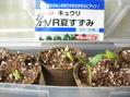 トマト、胡瓜発芽