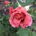 アイスココア(仮名)の一番花。♥。・゚♡゚・。♥。・゚♡゚・。♥。