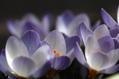 寒咲きクロッカス