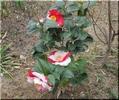 クリスマスローズ咲きました