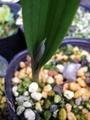 テリミトラの花芽