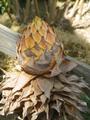 チユウキンレン(地湧金蓮)が咲きました