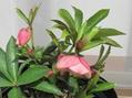 クリロ 初花