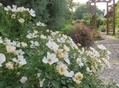 小さなバラたち