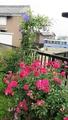 赤いバラとクレマチス・パンサー