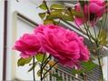 今日の🌹ツルバラの花🌹