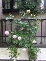 薔薇🌹にシュートが出てきた