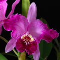 C. lueddemanniana f. flamea 'Ken'