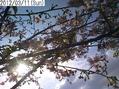 狂い咲き河津桜の春満開
