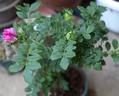 遅咲きの薔薇も咲きはじめて…