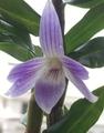 ビクトリア- レジネ 再びひっそり開花