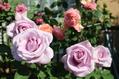 バラが咲いた5