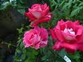 その後の薔薇の行方