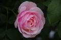 今日のバラ ① 0521