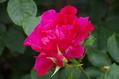 今日のバラ ② 0521