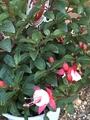 クリスマスローズの種を蒔きました。