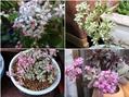 🌵これまで花咲いた多肉植物達🌵