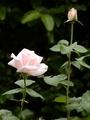 🌹 ロイアルハイネス が 咲いています。