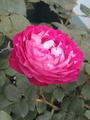 気になった新品種の薔薇✨