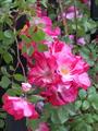綺麗に咲いてた薔薇ちゃん✨
