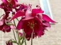 西洋オダマキも咲いてます!